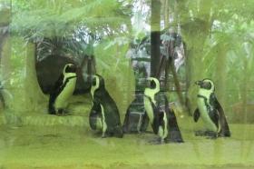 Pinguin di Gembira Loka Zoo