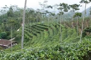 Hamparan kebun teh yang hijau