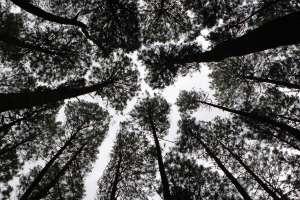 Pohon-pohon pinus merkusi yang tumbuh di area 500 Ha