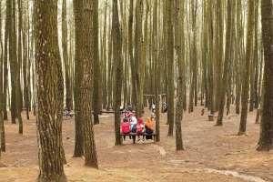 Hutan pinus jadi tempat bersantai bersama sahabat