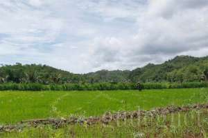 Areal persawahan penduduk di sekitar pantai Kayu Arum Yogyakarta