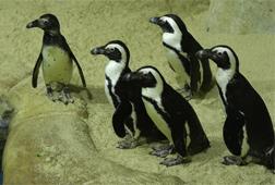 Susahnya Mendatangkan Pinguin ke Gembira Loka