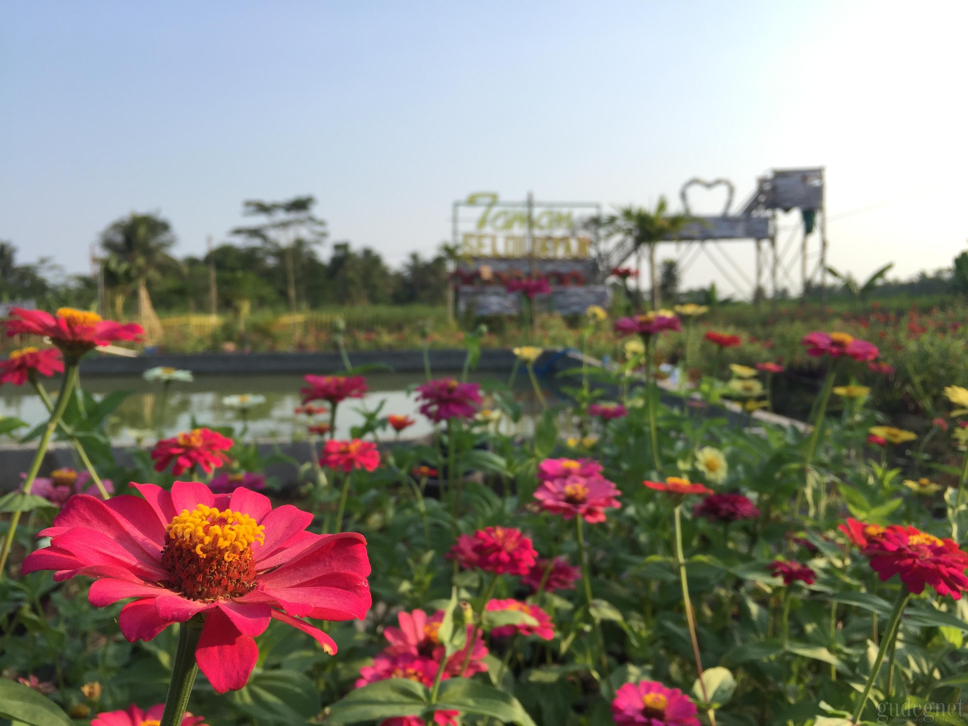 Taman Seloijayan, dari Lahan Tandus jadi Taman Bunga Warna-warni