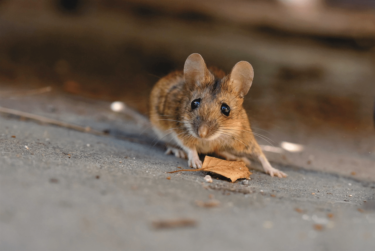 Tips Usir Tikus di Rumah