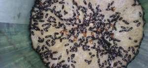Kenapa Konsumsi Semut Jepang Bisa Berbahaya?