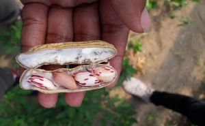 Biologi UGM Kembangkan Kacang Tanah Unggul