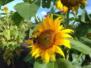 Kebun Bunga Matahari, Spot Foto Hits di Bantul