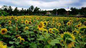 Ladang Kuning Memikat Helio Garden Yogyakarta