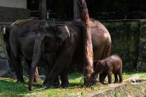 Arinta, Bayi Gajah yang Lahir di Tengah Pandemi Mulai Mandiri